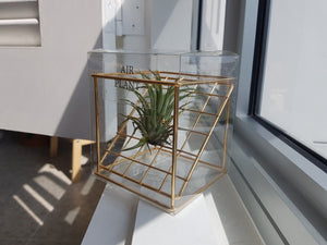 Air Plant with Golden Cube - FAYY Terrarium & Gifts