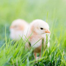 Spring Chick Rental April 14th to April 21st
