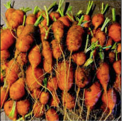 Heirloom Seed Vault - Paris Market Carrot