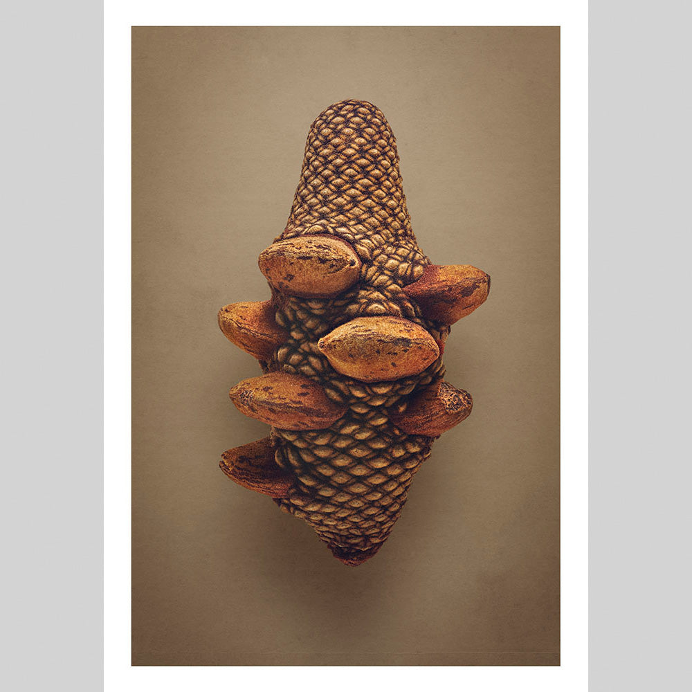 Firewood Banksia - Edition of 8