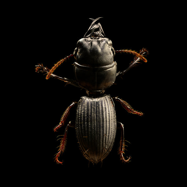 Burrowing Ground Beetle