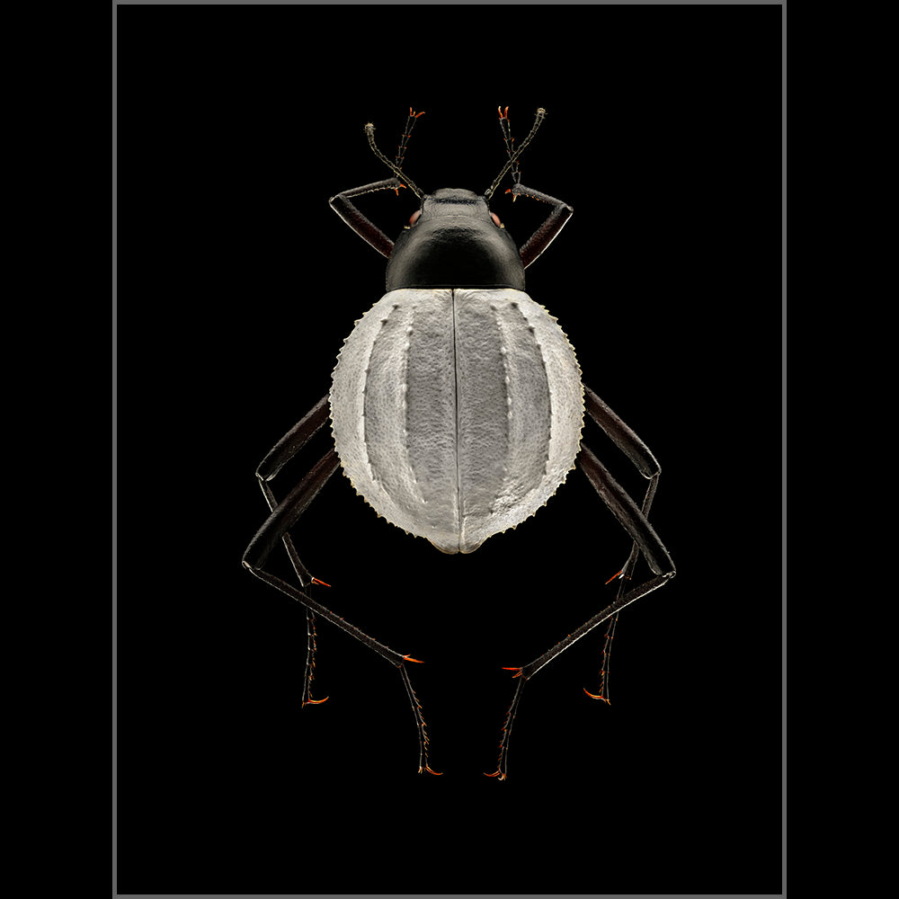 Darkling Beetle - Edition of 12