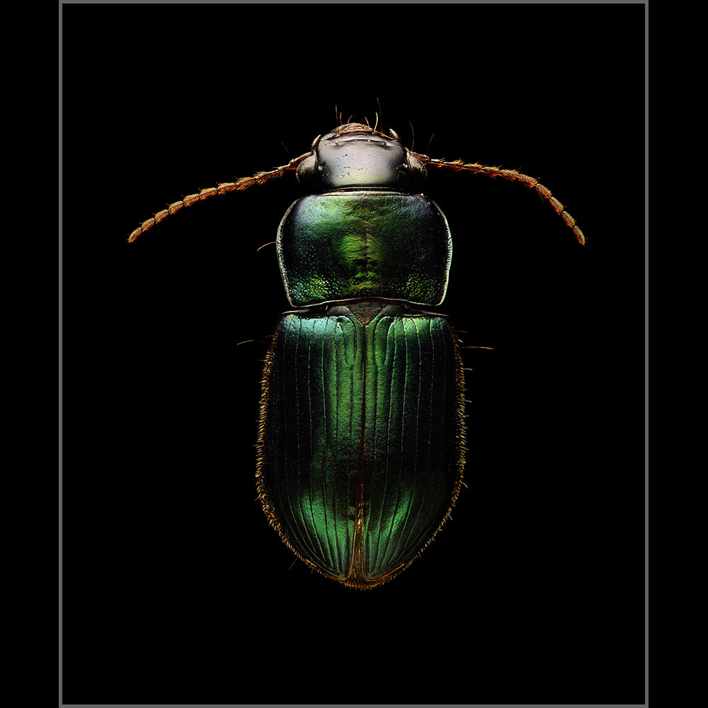 Ground Beetle - Edition of 10