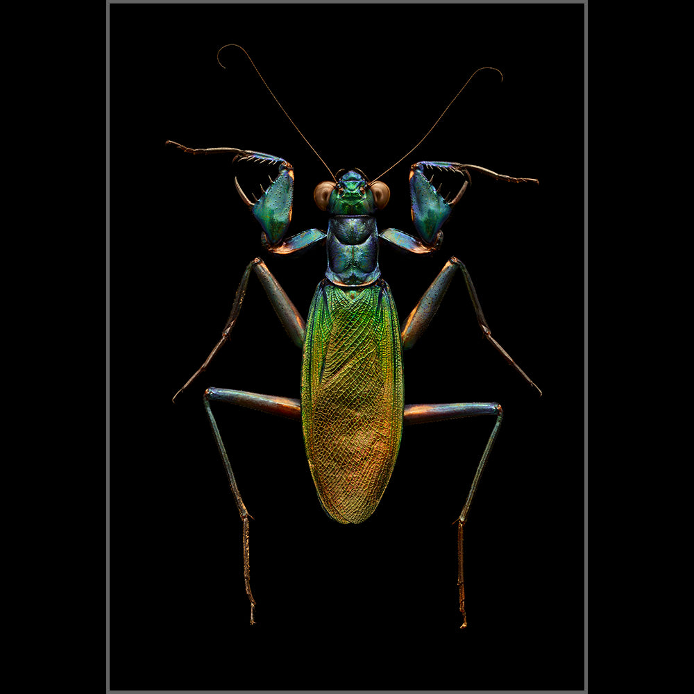Iridescent Bark Mantis
