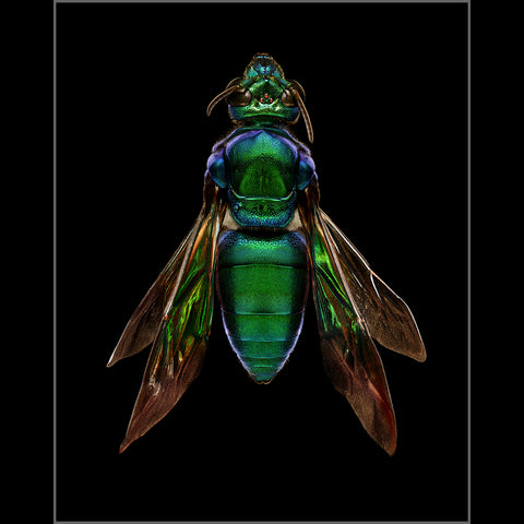 Orchid Cuckoo Bee (top view)