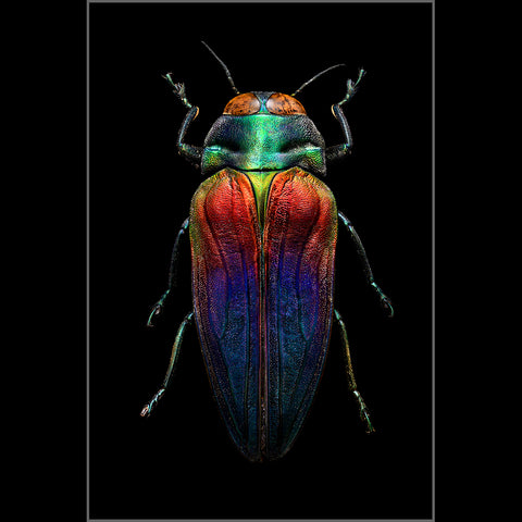 Tricolored Jewel Beetle - Edition of 15