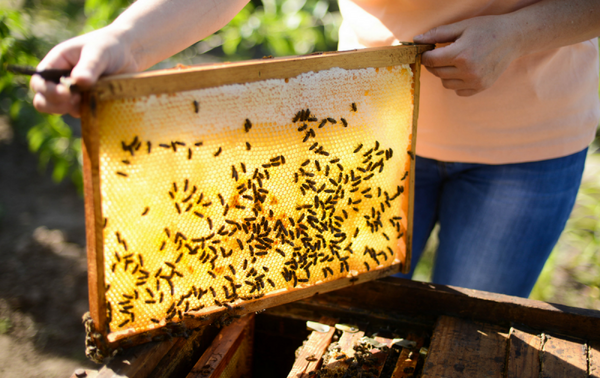 Helping Honey: The Logistics of Saving Bees