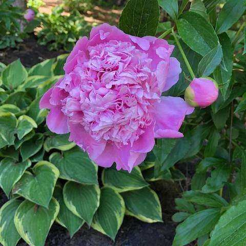 Peonies are my FAVOURITE Flower