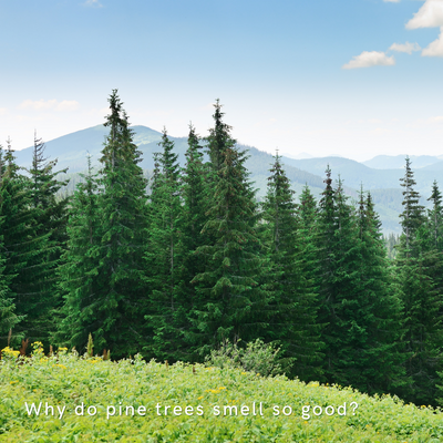 Why does pine smell so good?