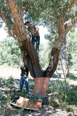 Cork tree harvesting