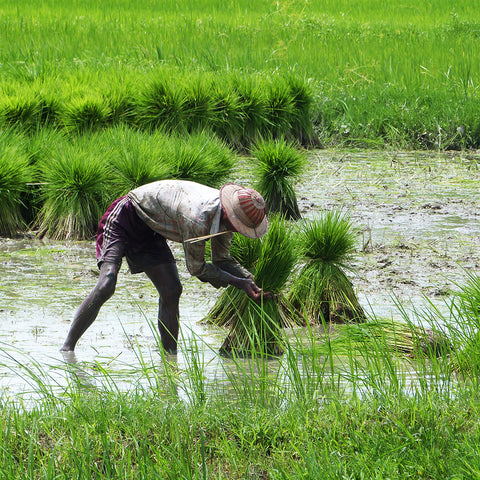 Shan Rice Farmer