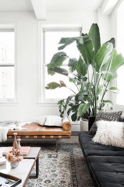 Super Sized House Plant in Claire Esparros's Home