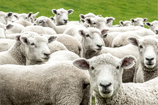 Why Climate beneficial wool?
