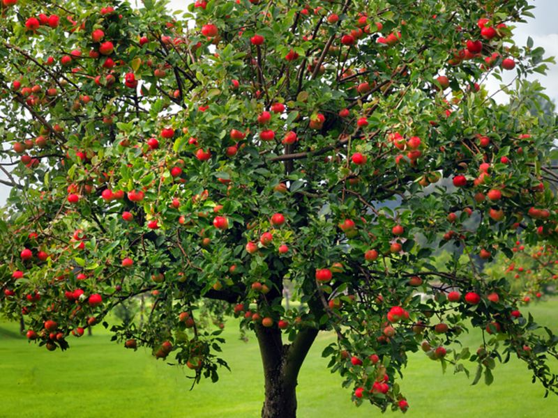 Apple tree used for cooking wood