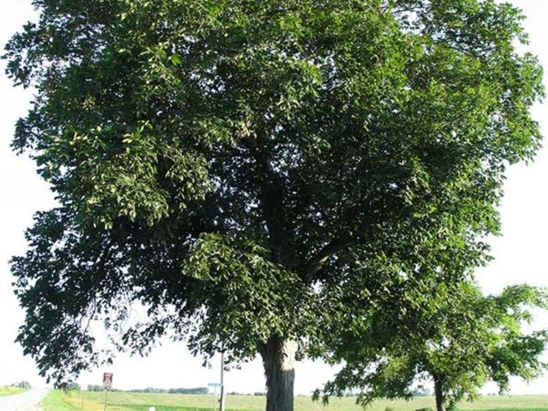 Hickory tree used for cooking wood
