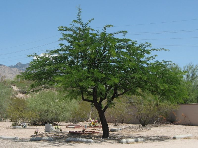 Mesquite tree used for cooking wood