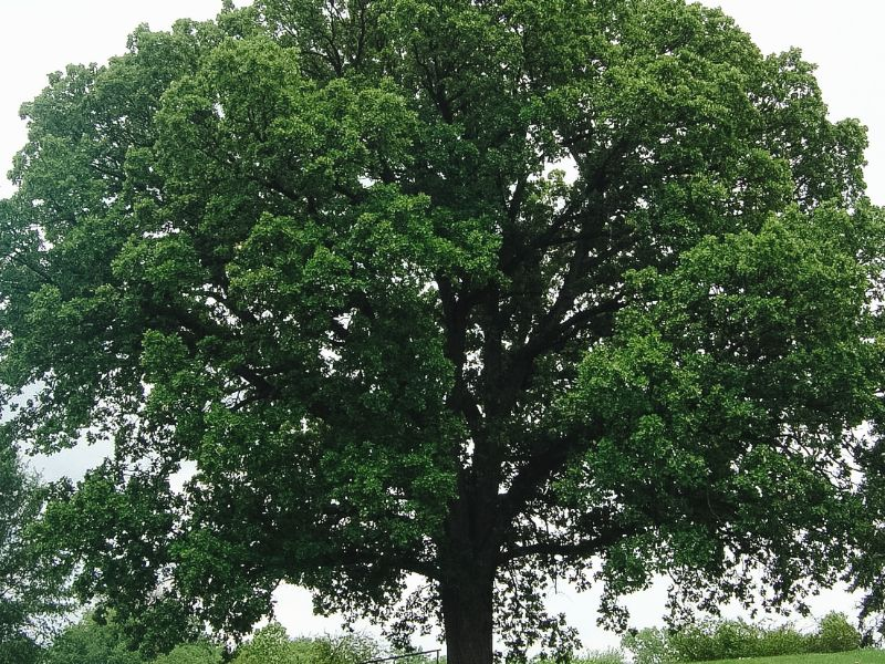 Oak tree used for cooking wood