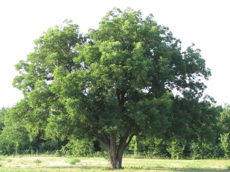 Pecan tree used for cooking wood