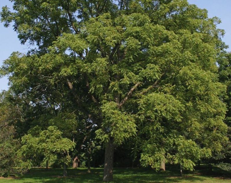 Walnut tree used for cooking wood