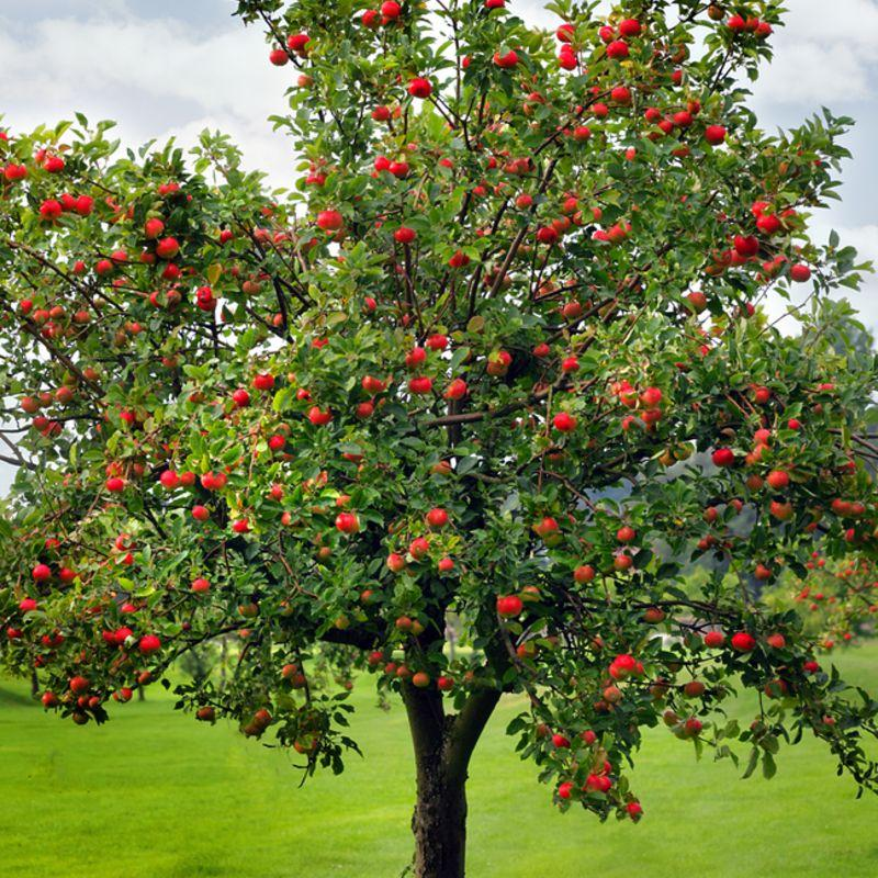 Apple Tree which produces apple wood for smoking