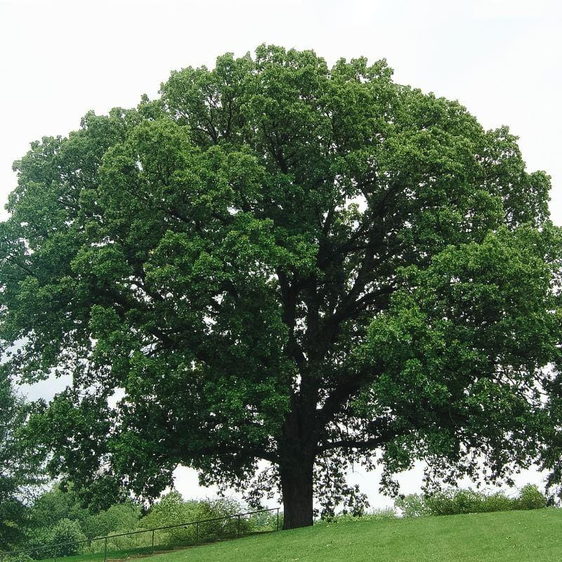 Oak Tree which produces oak wood for cooking in wood fired pizza oven