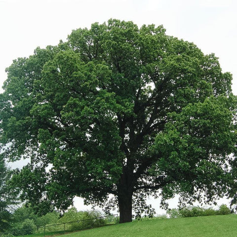 Image of Oak Tree which produces oak wood for cooking in wood fired pizza oven