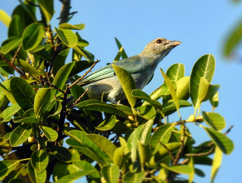 birding colombia glaucous tanager
