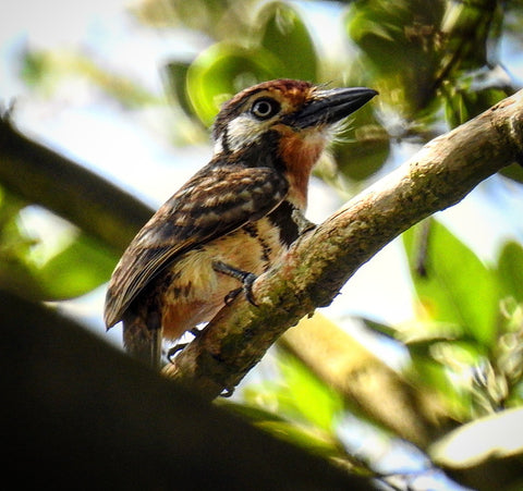 Birding tours Colombia Santa Marta russet throated puffbird