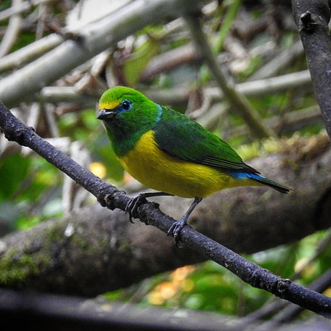 Colombia Birdwatch Manakinnaturetours Santa marta