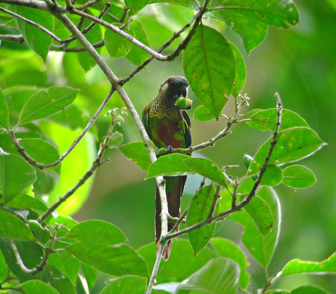 Birding Tours Colombia Painted Parakeet Birdwatching Colombia Birding Colombia