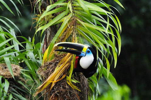 birding tours colombia channel billed toucan