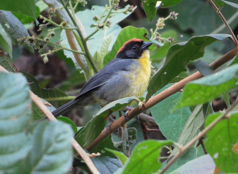 Birding Tours Colombia Perija brushfinch Birdwatching Colombia Birding Colombia