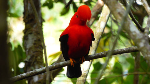 Colombia Nature & Birding Private Expedition (11 Days Roundtrip / price in USD$)-Birding Colombia-Colombia endemic Birds-Birding Colombia Tours