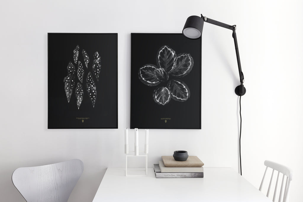Calathea Roseopicta poster - cocolapine
