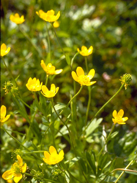 Western Buttercup Seeds (Ranunculus occidentalis)