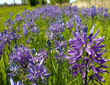 Great Camas Seeds (Camassia leichtlinii)