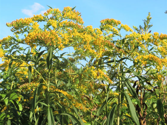 Canada Goldenrod Seeds (Solidago canadensis)
