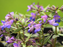 Blue-Eyed Mary Seeds (Collinsia grandiflora)