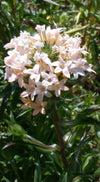 Large-Flowered Collomia Seeds (Collomia grandiflora)