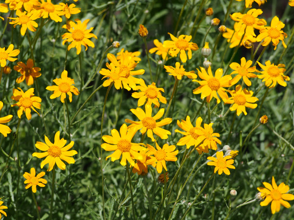 Oregon Sunshine / Wooly Sunflower Seeds (Eriophyllum lanatum)