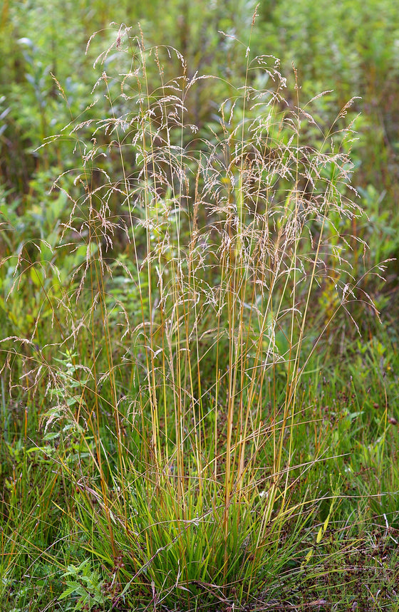 Tufted Hairgrass Seeds (Deschampsia cespitosa)