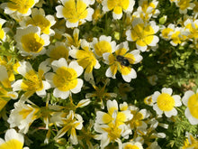 Douglas Meadowfoam Seeds (Limnanthes douglasii)