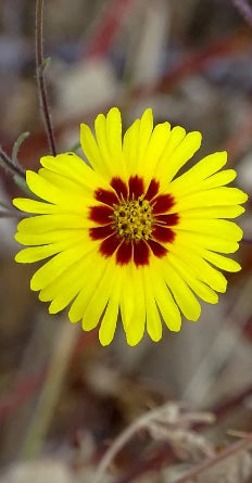 Showy Tarweed Seeds (Madia elegans)