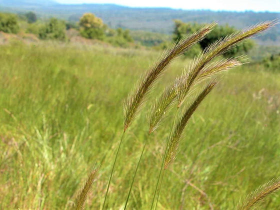 Meadow Barley Seeds (Hordeum brachyantherum)