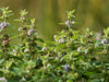 Field Mint Seeds (Mentha arvensis)