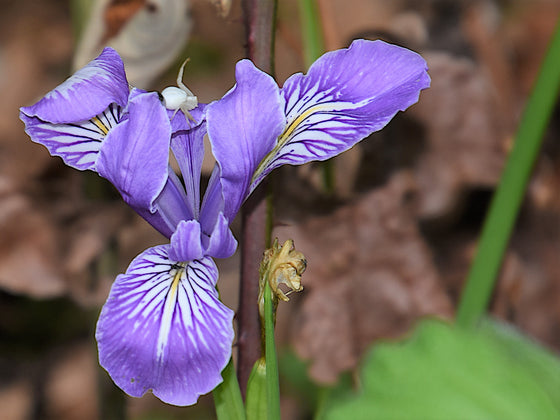 Oregon Iris Seeds (Iris tenax)