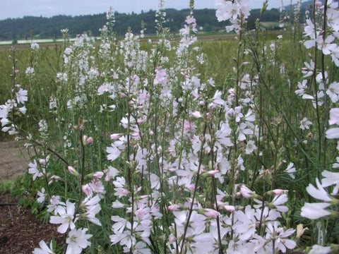 Meadow Checkermallow Seeds (Sidalcea campestris)