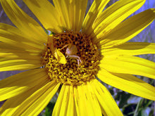 Mule's Ears Seeds (Wyethia angustifolia)