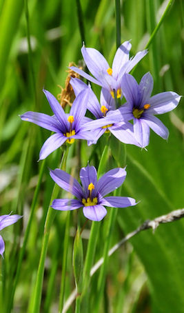 Blue Eyed Grass Seeds (Sisyrinchium idahoense)