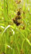 Chamisso Sedge Seeds (Carex pachystachya)